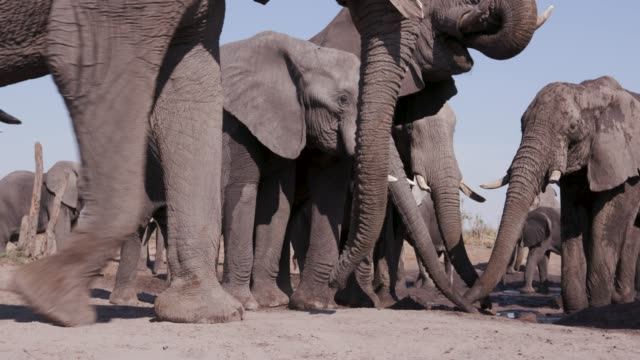 Close-up-of-a-small-group-of-elephants-drinking-at-a-waterhole-Botswana
