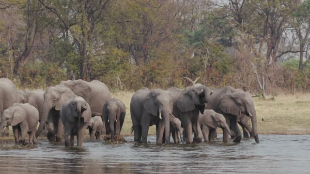 Breeding-herd-of-elephants-with-young-calfs-drinking-at-a-river-in-the-Okavango-Delta-Botswana