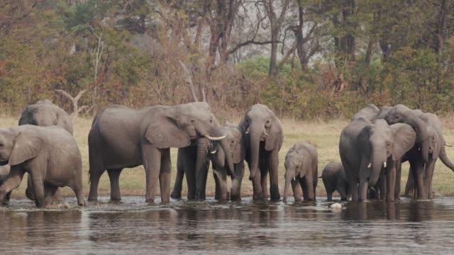 Manada-de-elefantes-de-cría-con-terneros-jóvenes-bebiendo-en-un-río-en-el-Delta-del-Okavango-Botswana
