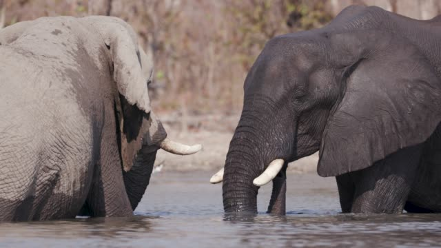 Close-up-of-two-elephants-playing-in-a-river-in-the-Okavango-Delta-Botswana