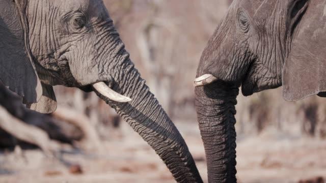 Close-up-of-two-elephants-greeting-with-trunks-Okavango-Delta-Botswana