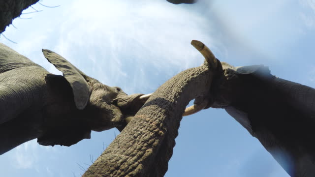Spectacular-footage-of-elephants-drinking-water-directly-above-the-camera-Okavango-Delta-Botswana