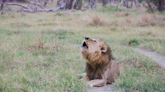 Male-lion-lying-down-and-roaring-Botswana