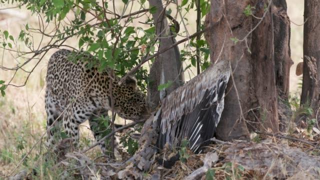Leopard-mit-Pelikan-Kill-im-dichten-Busch-Botswana