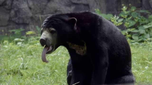 Closeup-retrato-de-un-oso-de-sol-con-una-mirada-a-su-famosa-lengua-larga-