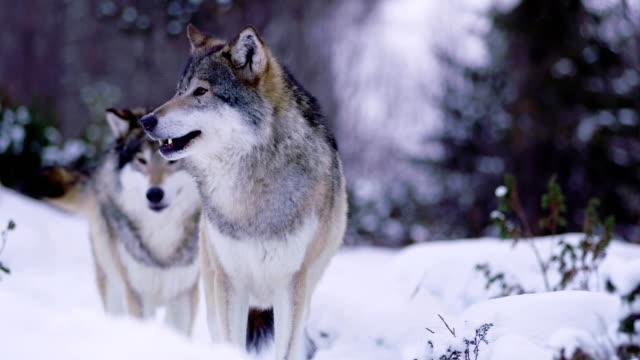 Retrato-de-hermosa-Lobo-Alfa-curiosamente-mirando-a-su-alrededor