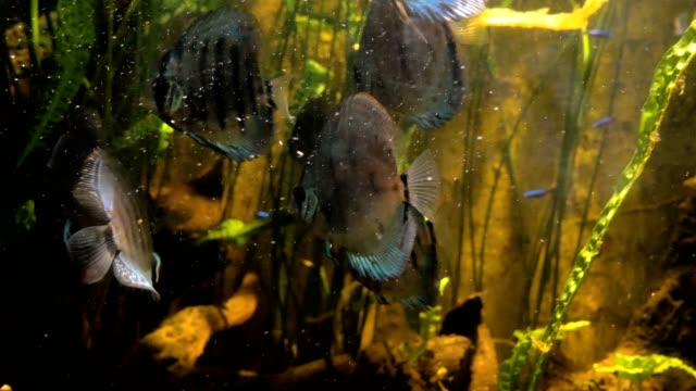 Tropical-fish-in-water