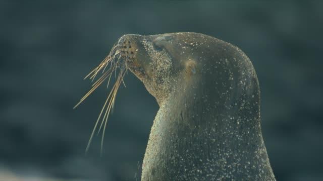 Sea-Lion