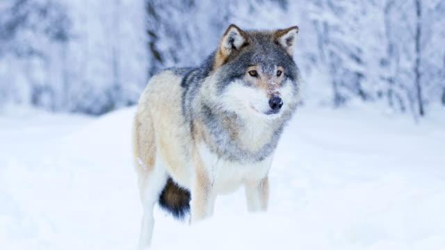 Portrait-of-beautiful-wolf-in-snowy-winter-landscape
