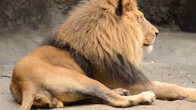 León-el-rey-de-la-selva