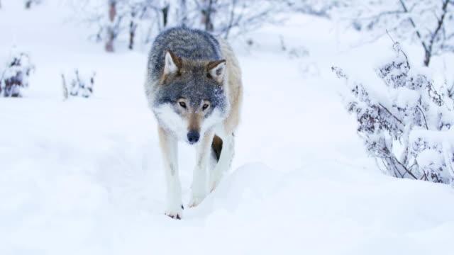 Gran-lobo-hermoso-pie-más-cerca-a-la-cámara-en-el-paisaje-de-invierno-cubierto-de-nieve