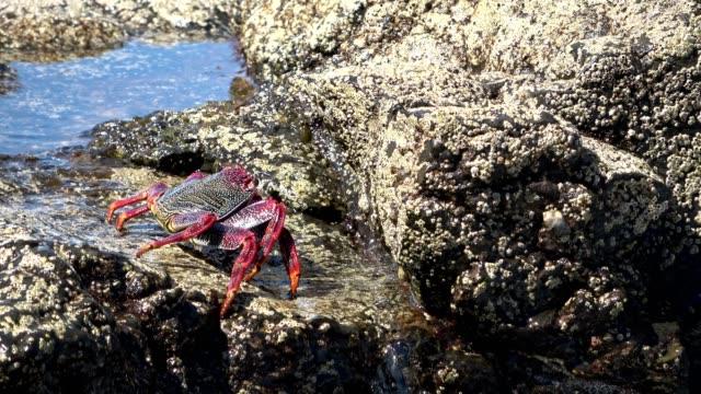 Cangrejo-Plagusia-depresse-Klippenkrabbe-Krabbe-Despeñadero-roca-comportamiento-animal-fuerteventura-4K