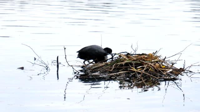 Springtime-Coots-water-birds-mating