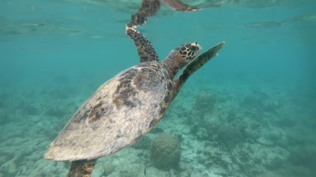 Shallow-Lagoon-Water-With-Sea-Turtle-Swimming-Near-Coral-Reef