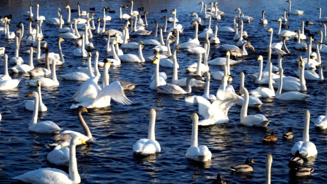 Many-wild-swans-and-ducks-on-the-lake-Winter-time-sunny-weather-freshwater-4k