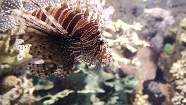 Lionfish-closeup-in-4K-UHD-