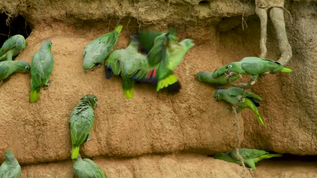 Mealy-Parrots-and-a-Curly-Hanging-Root-at-a-Clay-Lick