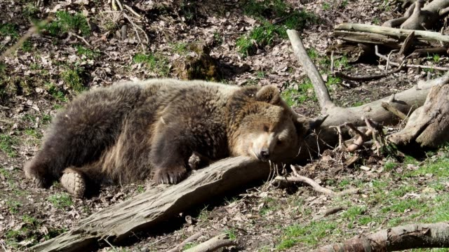 Brauner-Bär-schlafen-Bär-auf-einem-Hügel-im-Wald-schlafen-(Ursus-Arctos)