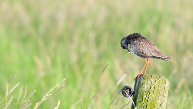 Redshank-or-Common-Redshank-sitting-on-a-pole-overlooking-a-meadow