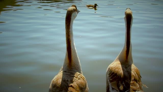 pair-of-geese-in-the-lake-watching-ducks