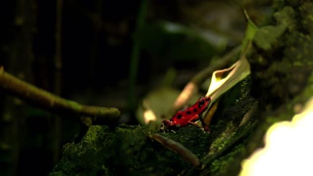 Fresa-roja-rana-en-su-hábitat-natural-en-el-Caribe