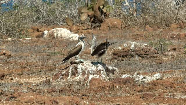 blue-footed-booby-courtship-display-nth-seymour