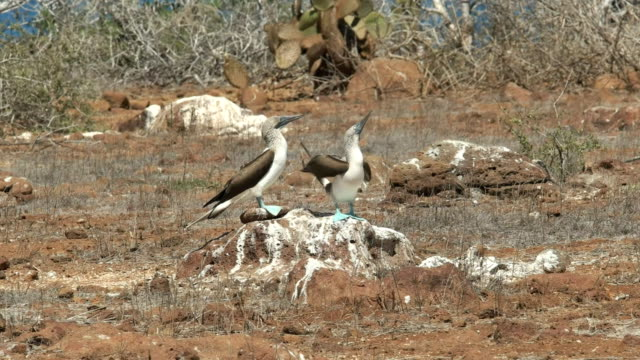 blue-footed-booby-pair-dancing-on-a-rock-at-nth-seymour-in-the-galapagos