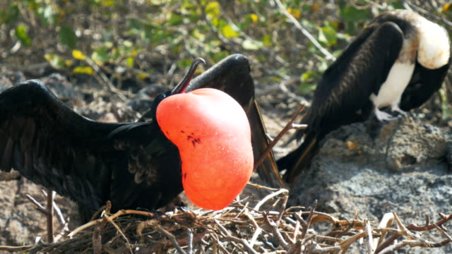 close-up-of-a-male-and-female-magnificent-frigatebird-in-the-galalagos-islands