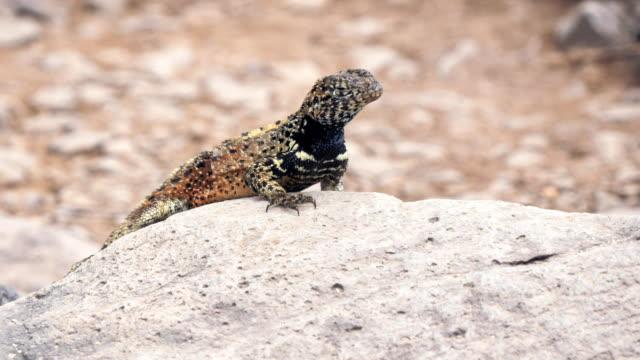 cerca-de-un-lagarto-lava-en-isla-Española