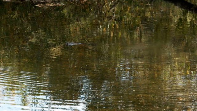 tracking-shot-of-a-platypus-swimming-in-a-river