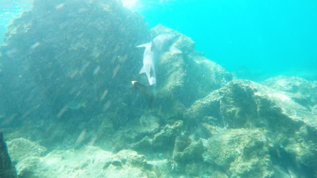 eine-weiße-Spitze-Riffhai-schwimmt-auf-einem-Riff-bei-Isla-Bartolomé
