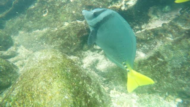 Nahaufnahme-von-einem-gelb-tailed-Doktorfisch-auf-Isla-genovesa