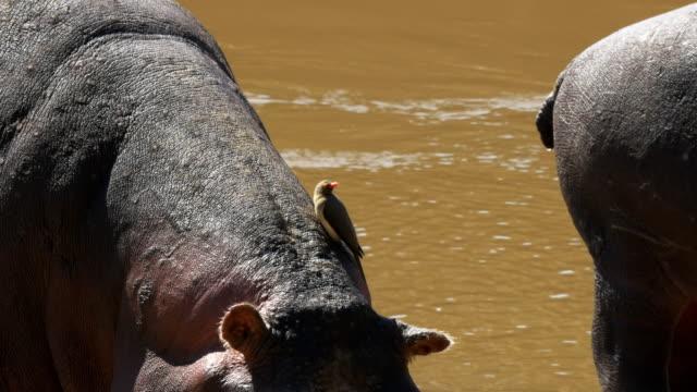 hippo-and-oxpecker-bird-at-masai-mara-kenya