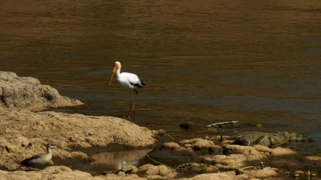 tiro-de-seguimiento-de-una-cigüeña-de-pico-amarillo-al-río-mara-Kenia