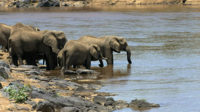 wide-angle-shot-of-an-elephant-herd-drinking-from-the-mara-river-in-kenya