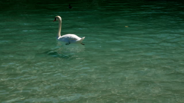 swan-swims-happy-in-Lake-Annecy-France
