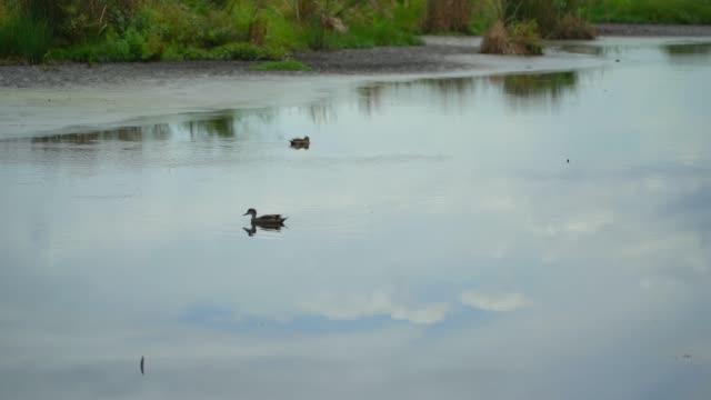 Patos-nadando-en-el-lago-de-Australia