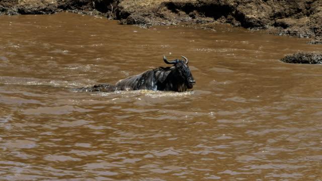 un-wildebeest-lucha-por-liberarse-de-las-fauces-de-un-cocodrilo