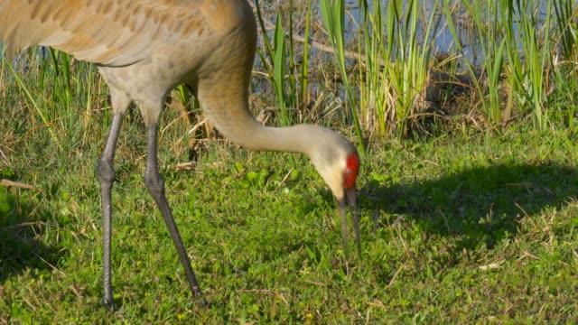Sandhill-Crane-(Grus-canadensis)---Florida