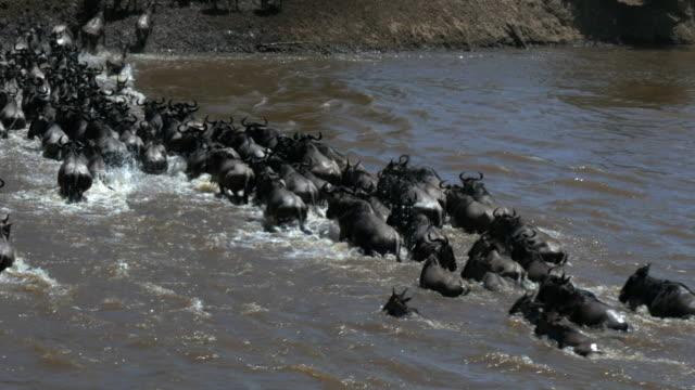 high-rear-view-of-a-wildebeest-herd-crossing-the-mara-river-in-kenya