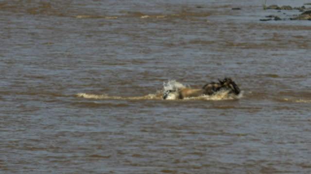 crocodile-attacking-several-gnu-mara-river-kenya