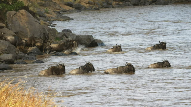 wildebeest-crossing-the-mara-river-on-their-annual-migration