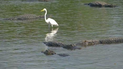 American-alligators-lie-next-to-the-heron