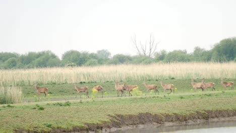 Herd-of-red-deer-run-away-from-water