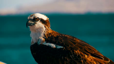 Marine-Bird-of-Prey-Osprey-Sits-on-the-Background-of-Red-Sea