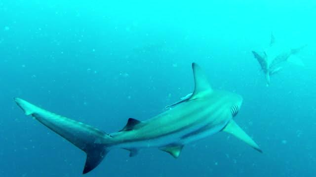 Baited-shark-dive-with-black-tip-sharks
