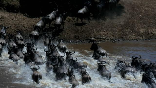 Kamerafahrt-von-gnus-die-Ãœberquerung-des-Mara-Flusses