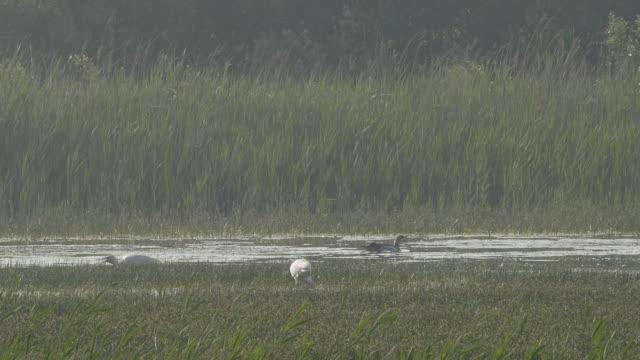 Spoonbills-foraging-in-marsh