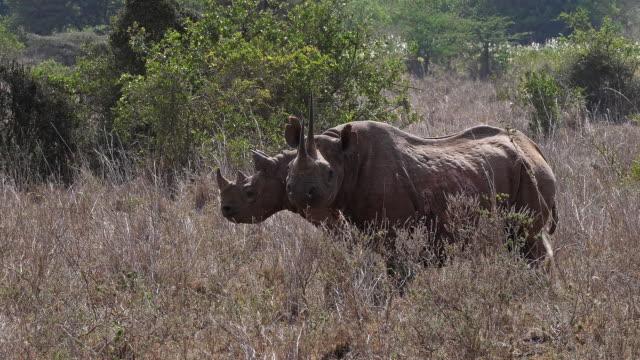 Black-Rhinoceros-diceros-bicornis-Female-with-Calf-Masai-Mara-Park-in-Kenya-Real-Time-4K