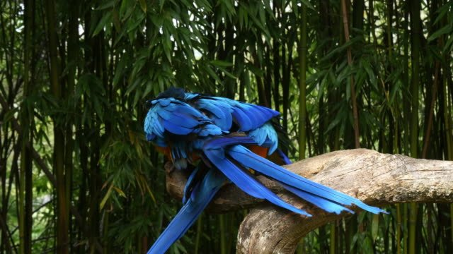 Blue-and-yellow-Macaw-ara-ararauna-Pair-Mating-Reel-Time-4K